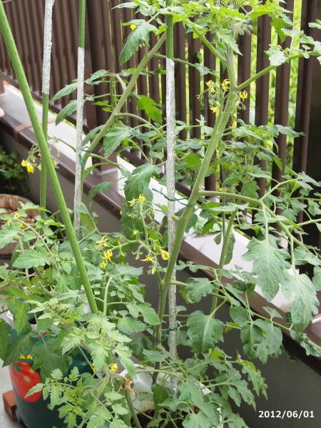 デルモンテのミニトマト栽培キット