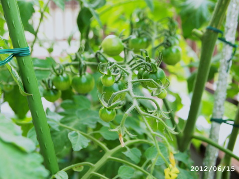 デルモンテ ミニトマト栽培キット