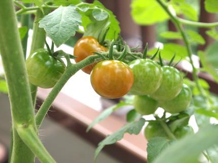 無印良品野菜栽培キット ミニトマト色づく